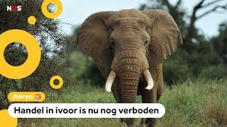 'We willen weer slagtanden van olifanten verkopen'