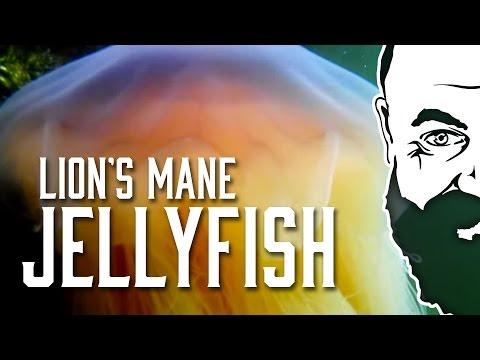 Lion's Mane Jellyfish (Cyanea Capillata) (NO: Brennmanet)