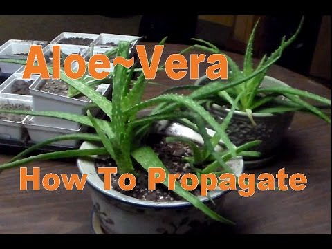 how to propagate aloe vera pups suckers to grow new plants youtube. Black Bedroom Furniture Sets. Home Design Ideas
