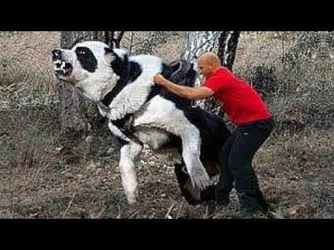 Giant Dogs Of The World Part 2!!!