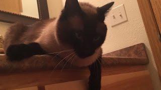 Как понять, что хочет сказать Вам сиамский кот ? =^..^= СИАМСКИЕ КОШКИ