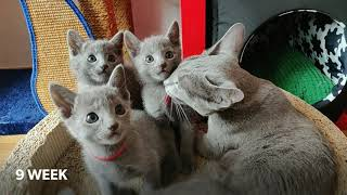 13 WEEKS OF LIFE IN OUR BREEDING STATION RUSSIAN BLUE CATTERY VAMIRON, CZ - LITTER E