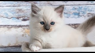 Cùng ngắm nhìn giống mèo Ragdoll tuyệt đẹp