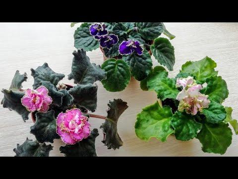 Вопрос: Можно ли рассаживать фиалки во время цветения?