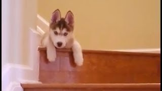Laika learning to go downstairs