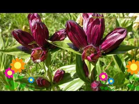 Горечавка пурпурная. Краткий обзор, описание характеристик, где купить gentiana purpurea