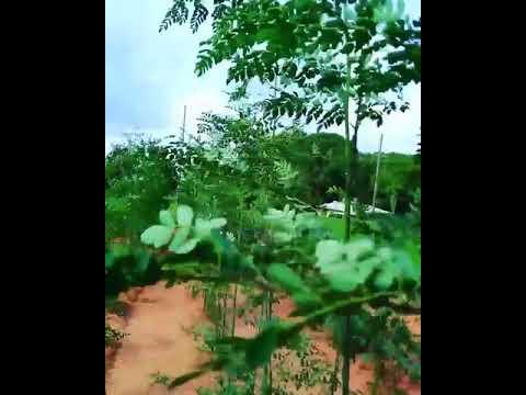 Organic Moringa  Farming
