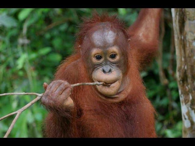 Orangutan - Man Of The Forest HD