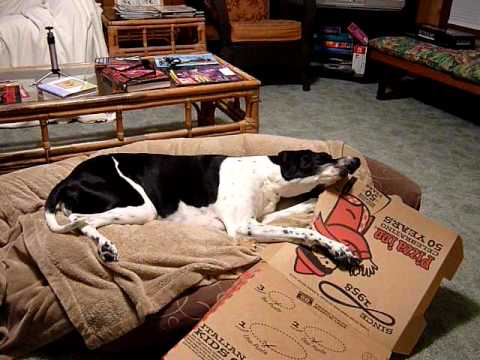 Roxy the English Pointer enjoying the Pizza Box 1