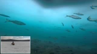 Подледные съемки. Трусливая рыба. р. Ангара.Иркутск