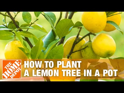 How To Plant a Lemon Tree in a Pot - The Home Depot