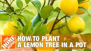 how to plant a lemon tree in a pot the home depot
