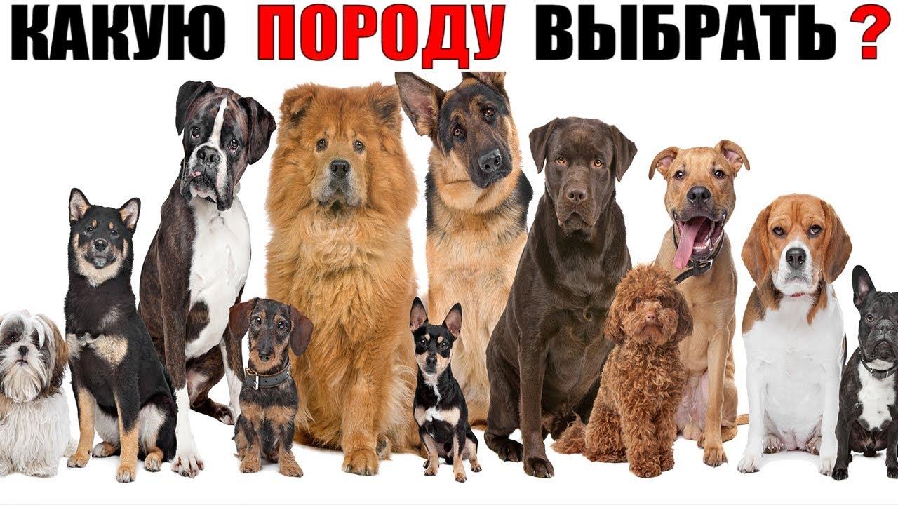 Какая самая лучшая порода собак? (Самый большой ТОП 60 пород собак)