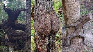 İlginç Şekillerde Büyümüş Ağaçlar