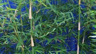 Clumping bamboo, its uses, growing tips, care & pruning.