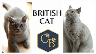 British Cat  (Shorthair and Longhair)