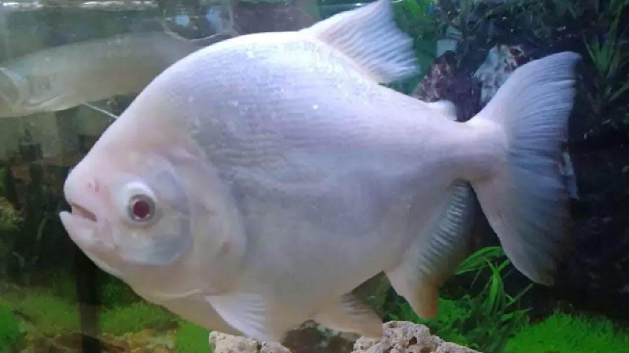 Ikan Hias Air Tawar Jenis Piranha Bawal Dan Bawal Albino Dewasa Untuk Aquarium Youtube