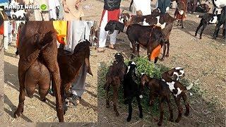 551 | GOAT FARMING - PAKISTAN | بکری پال حضرات متوجہ ہوں