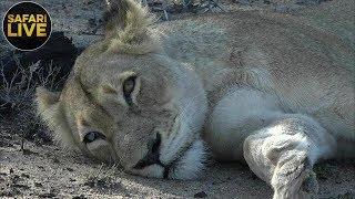 safariLIVE - Sunrise Safari - November 8, 2018