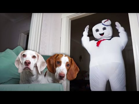 Dogs vs Mini & GIANT Marshmallow Puft Man: Funny Dog & Dancing Marshmallow Man Prank
