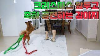 크리스마스 앞두고 축하 공연하는 강아지ㅋㅋㅋ(춤신춤왕 …