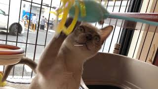 抱っこ大好き子猫 トンキニーズ 懐っこい猫 甘えてきます thumbnail