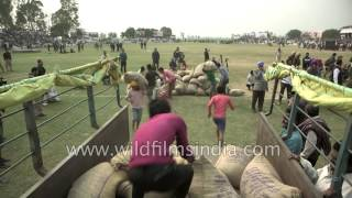 Sack loading and unloading competition in India: weird sport!