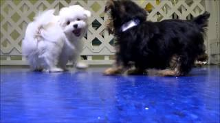 Playful Maltese, Yorkies, And Morkies
