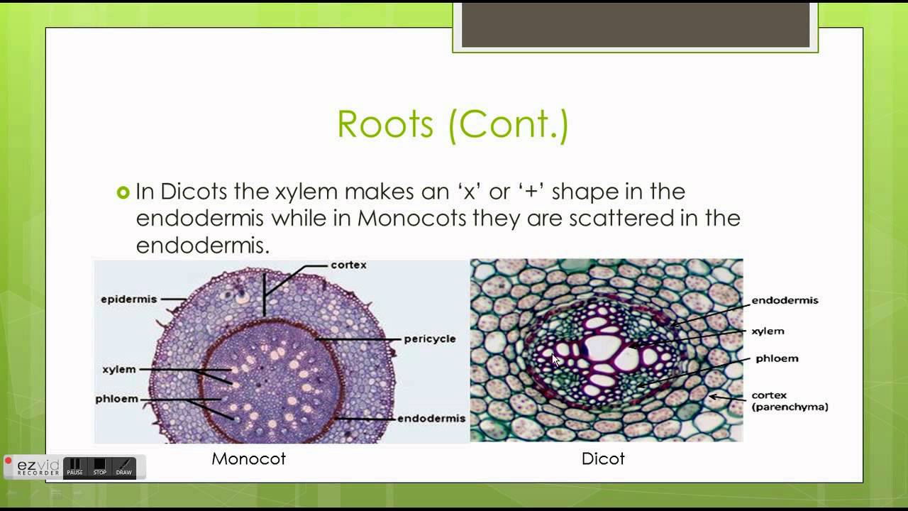 monocots dicots It is really easy to distinguish a monocot from a dicot however, first, it is important to understand that monocots and dicots actually represent the two main branches of flowering plants.