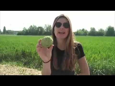 Dove acquistare la Guava: FruttaWeb from YouTube · Duration:  1 minutes 25 seconds