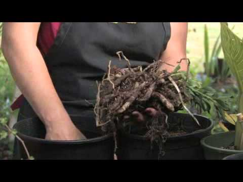 How to Grow Alstroemeria