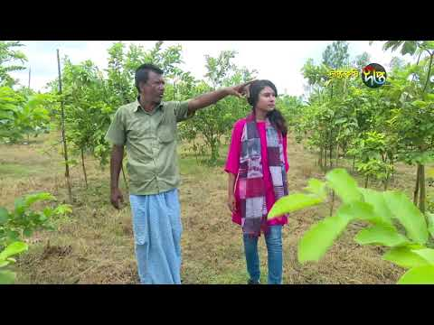 Deepto Krishi/দীপ্ত কৃষি -পেয়ারা বাগান/টাঙ্গাইল, পর্ব ৩২১
