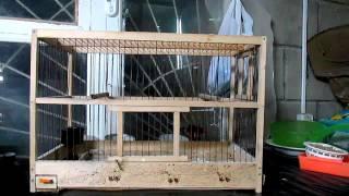 видео Разведение волнистых попугаев в домашних условиях как бизнес