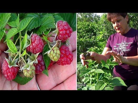 Если хотите больше урожай малины, сделайте как  делаю я  Малина в июне