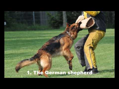 Top 10 Best Guard Dogs Breeds in the World