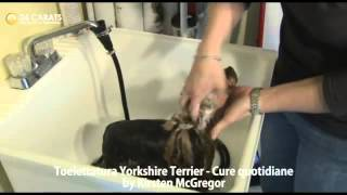 Yorkshire Terrier, Grooming Yorkshire Terrier Part 2, Toelettatura Quotidiane, Chanel Bridget