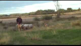 Australien Cattle Dog  Herding/vallar
