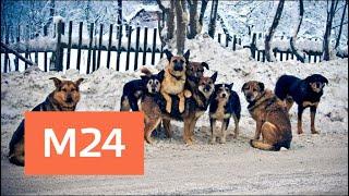 Стая бродячих собак напала на людей в Подмосковье - Москва 24