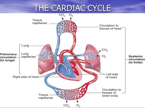 GCSE PE Revision- The Cardiac Cycle Paper 1 Cardiovascular System