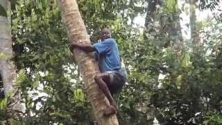 Coconut Tree Climber Zanzibar