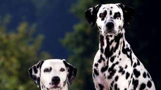 """Порода собак. Далматин. Всеми узнаваемая по фильму """"101 далматин""""."""