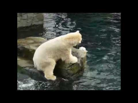 Polar Bear Diving Video | Visit Polar Bear Brother Huge Entertainment in Hanover Zoo