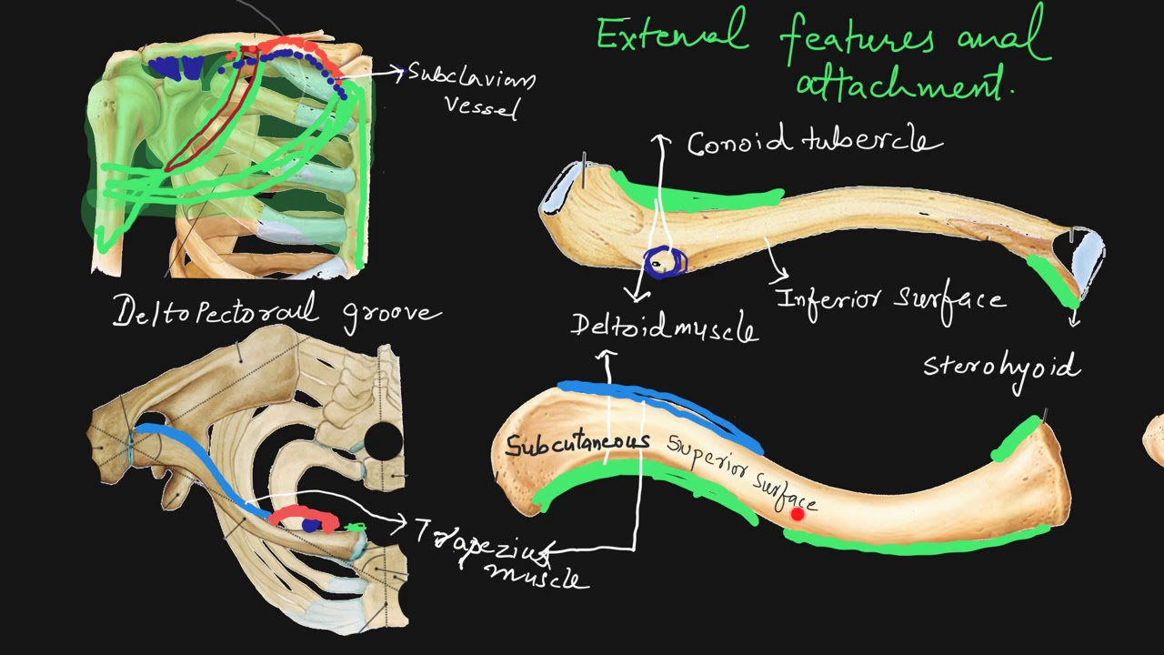 Clavicle Anatomy Youtube