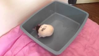 Крыс Чиба гоняется за своим хвостом как собака - Rat chasing his tail like a dog