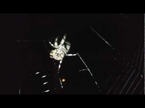 2nd video of Barn Orb-Weaving Spider