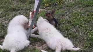 Пиренейская горная собака, щенки 3 месяца.