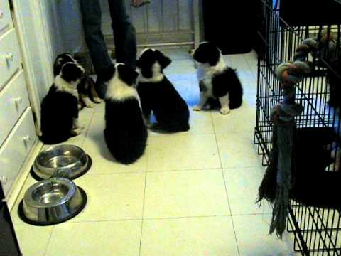Adorable Mini Aussie Puppies Do Tricks at 7 Weeks Old! www.allstarminiaussies.com