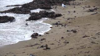 shore plover at plimmerton new zealand rare endangered bird
