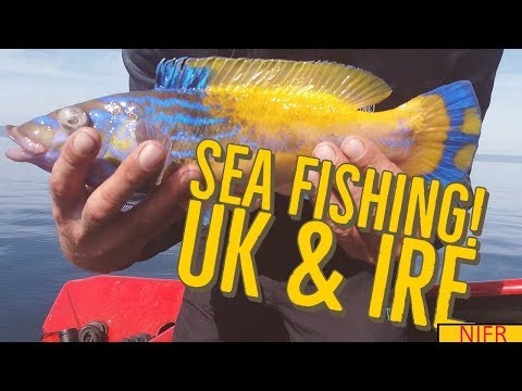 Deep Sea Fishing & Boat Fishing U.K & Ireland. Cuckoo Wrasse, Ling Fishing