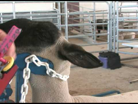 Lamb Ear Tag